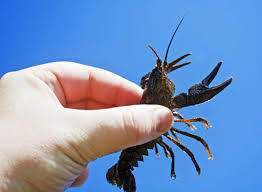 catch crawfish by hand